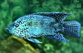 Electric Blue Jack Dempsey Cichlid Blue Dempsey Fish Guide