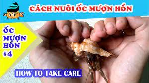 Ốc mượn hồn #4 - khả năng nuôi ốc mượn hồn (Hermit crab #4 - How to take  care of hermit crabs)