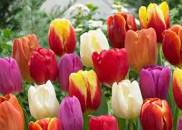 garden bulbs. Plant Fall Bulbs For Beautiful And Bold Tulips Ll The Home Depot Garden Club