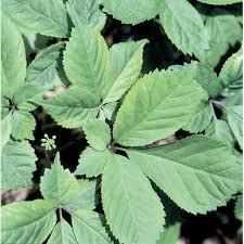 American Ginseng Herb Seed