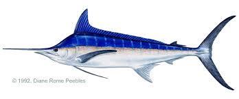 Costa Rica Fishing Species Pacific Blue Marlin Fecop