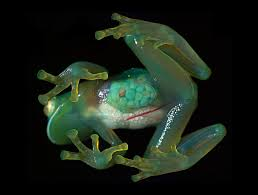 See Through Glass Picture See Through Glass Frog A Notes