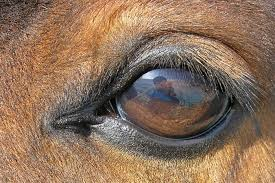 Animal Eye Size Chart Equine Vision Wikipedia