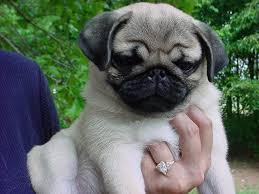newborn pug puppies.  Pug To Newborn Pug Puppies