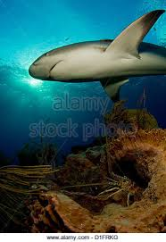 caribbean reef shark stock photos caribbean reef shark  caribbean reef shark in the stock image