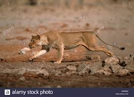 lioness hunting. Interesting Lioness Lion Panthera Leo Lioness Hunting At Waterhole Etosha National Park Namibia  Africa  Stock Image And Hunting O