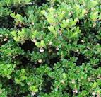 common bearberry