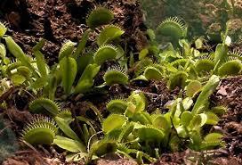 Растения хищники Неизвестное об известном интересные факты о  Венерина мухоловка dionaea muscipula