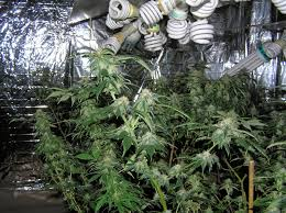 full image for mesmerizing cans fluorescent grow lights 86 t5 fluorescent grow lights weed cfl grow