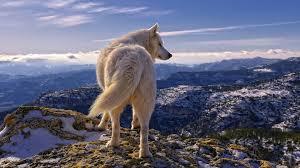 white wolf wallpaper 1920x1080. Wonderful White White Wolf Wallpapers Desktop All Wallpaper 1920x1080 Px 77826 KB  Animal Tumblr Dark Angry Throughout P