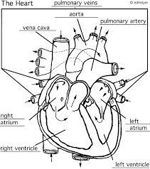 wpe4 circulatory system diagram worksheet termolak on the human respiratory system worksheet