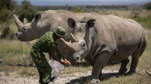 في كينيا.. كورونا يوقف عملية إخصاب لإنقاذ وحيد قرن نادر