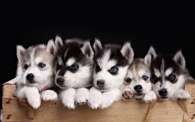 cute siberian husky puppy wallpaper. Contemporary Puppy Husky Puppy Wallpapers Phone For Desktop Wallpaper And Cute Siberian S