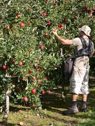 seasonal workers accommodation motueka backpackers abel tasman seasonal work picking apples motueka