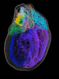 The First 3D <b>Map of the Heart's</b> Neurons