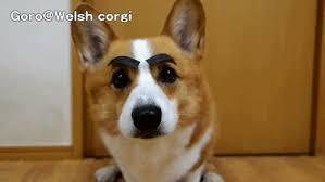 corgi puppy stampede gif. Plain Corgi Animals Dogs Corgi GIF With Corgi Puppy Stampede Gif