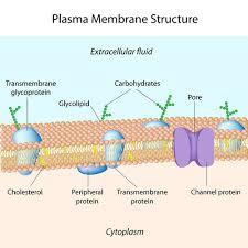 Cell Transport Read Biology Ck 12 Foundation
