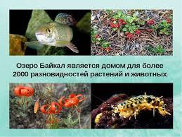 Презентация по окружающему миру на тему Озеро Байкал  Озеро Байкал является домом для более 2000 разновидностей растений и животных