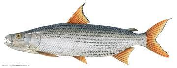 types of edible fish. 5tigerfish types of edible fish