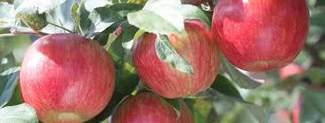 Growing Apples In The Home Garden Umn Extension