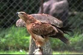 Степной орел орел степной aquila rapax ареал среда обитания  степной орел орел степной aquila rapax фото фотография