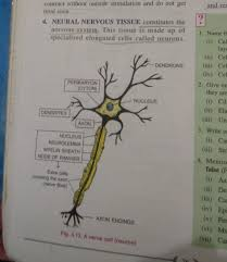 Describe The Structure Of Neuron Brainly In