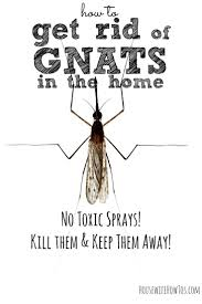 Small Gnats In Kitchen 17 Best Ideas About Gnats In Kitchen On Pinterest Fruit Flies