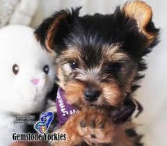 Yorkie Puppy Weight Chart Yorkiepuppyweightchart Puppy