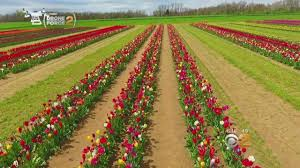 new jersey farm modeled after tulip fields of holland