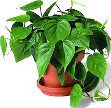 indoor plant names and pictures names of houseplants with pictures house plants and their names house