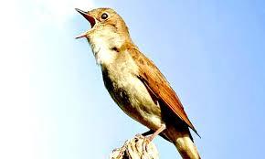 Bentuknya yang kecil dan suara merdu, membuat burung flamboyan gacor ini sering ditangkap dari alam. Paling Bagus 14 Gambar Burung Flamboyan Jantan Gani Gambar