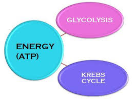 Difference Between Glycolysis And Krebs Citric Acid Cycle