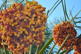 356 Best FRUIT TREES OF FLORIDA U0026 OTHER PLACES Images On Pinterest Palm Tree Orange Fruit