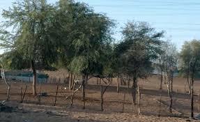نتيجة بحث الصور عن اشجار الزيتون في قرية قرفا