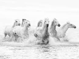 white horses running in water.  Water White Horses Of Camargue Running Through The Water Camargue France  Photographic Print By Nadia Isakova  Artcom With In Water