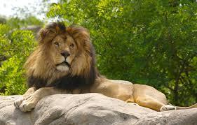 Wallpaper animals, nature, cat, lion ...