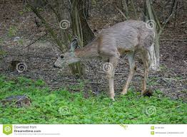 What Is Idaho Known For Mule Deer Grazes In Park At Boise Idaho Stock Image Image Of