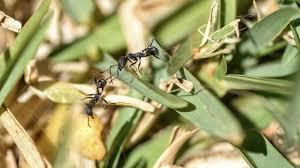 get rid of ants in vegetable garden