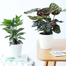 perfect office plants. It Is One Of The Most Easy To Take Care Kind Green Plants, Perfect For Your Home Or Office. Office Plants E