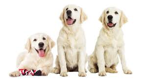 How Big Will My Puppy Be Height Weight Chart Calculator