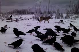 From the Readers: A Guide for Novice Wolf… | Grand View Outdoors