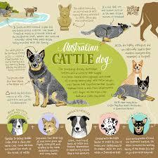 Australian Cattle Dog Infographic Print Aussie Cattle Dog