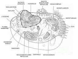 Small Picture Animal Cell Diagram Coloring Page Apigramcom