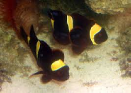 black and yellow clown fish.  Black U003cYour Welcome Nikkiu003e They Were Setup In The Store Show Tank But Heu0027s  Remodeling His Tanks And Store U003cGreat I Was Hoping That Caseu003e Nikki On Black And Yellow Clown Fish