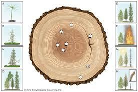 Douglas Fir Growth Chart Growth Ring Plant Anatomy Britannica