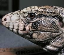 Reptilecare Com Argentine Black White Tegus