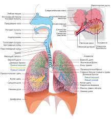 Значение дыхания Строение органов дыхания Строение органов дыхания человека
