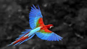 Parrot Birds HD Wallpapers
