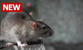 how to get rid of rats rats a rat how to best get rid of rats in house you