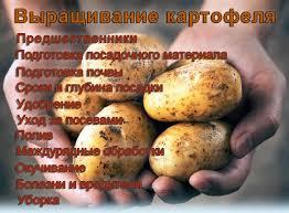 Выращивание картофеля все тонкости ru Выращивание картофеля
